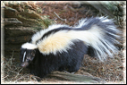 skunk animal removal control