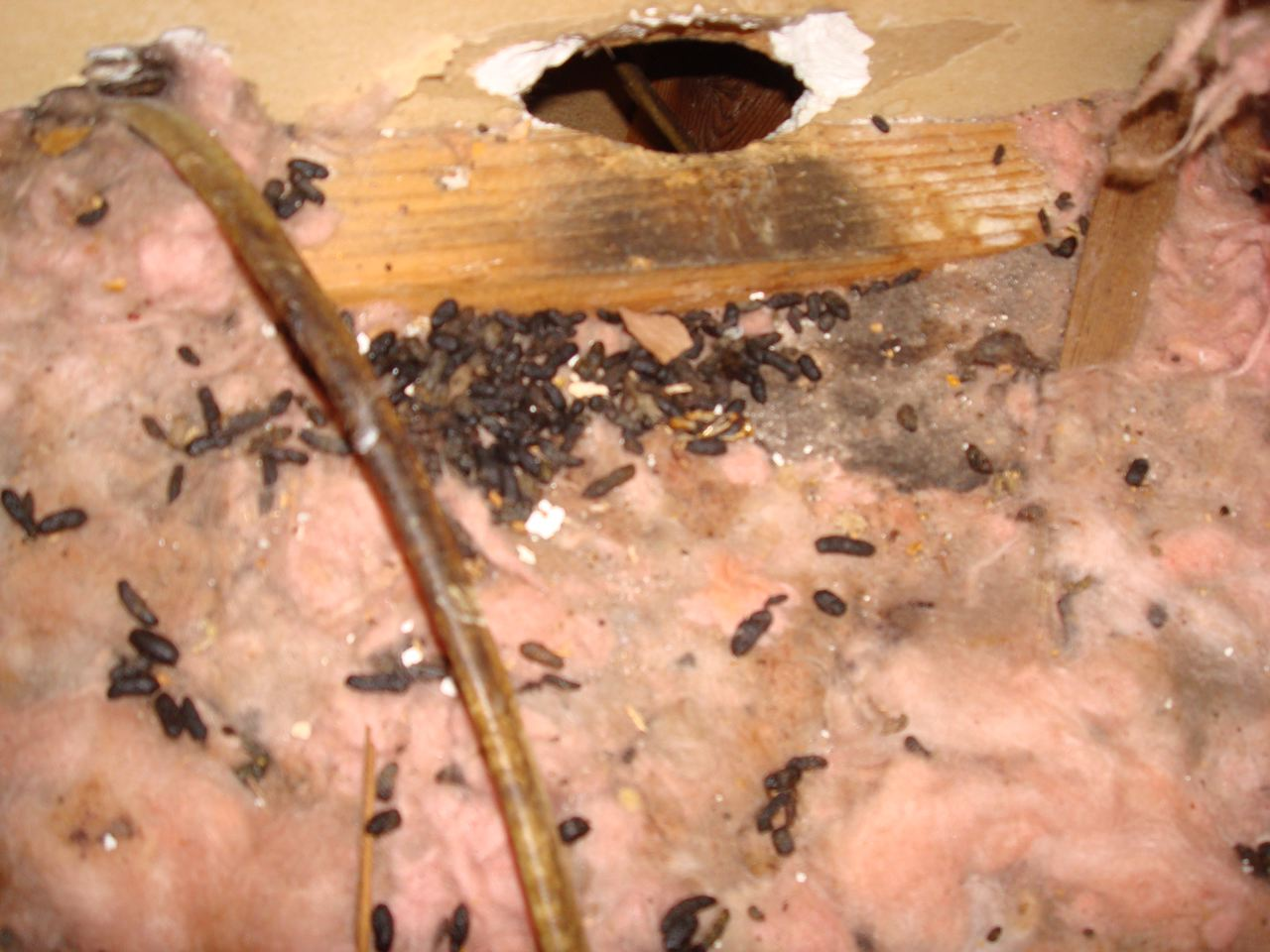 how to kill rats in attic