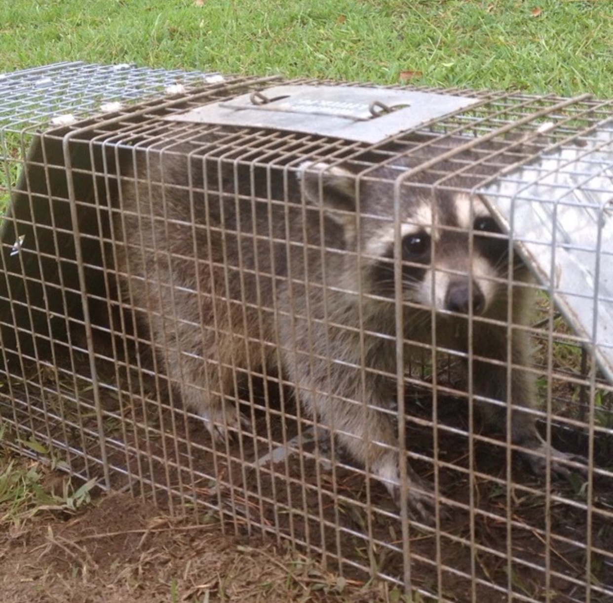raccoon control animal wildlife