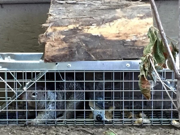 trapping animal wildlife squirrel attic