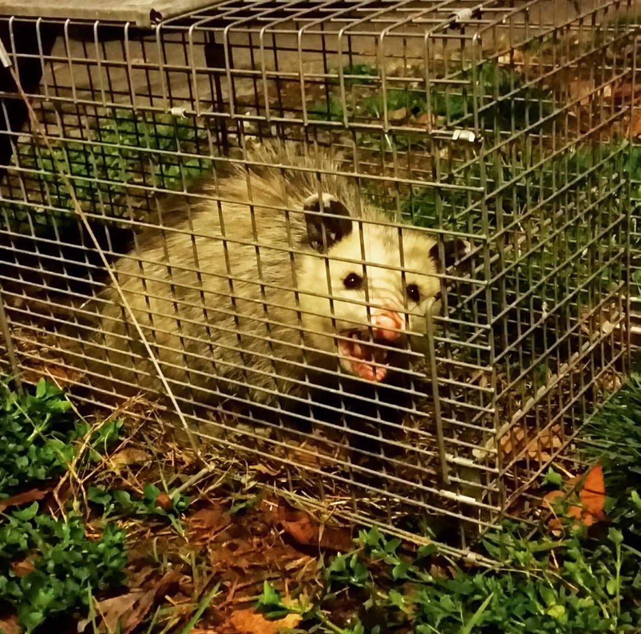 opossum removal attic