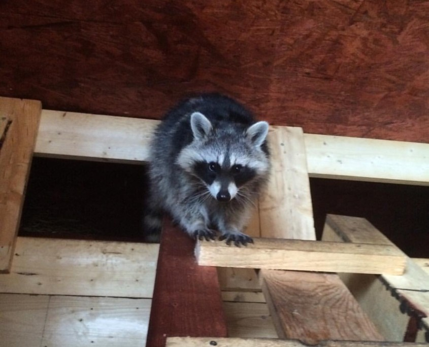 raccoon roof attic control