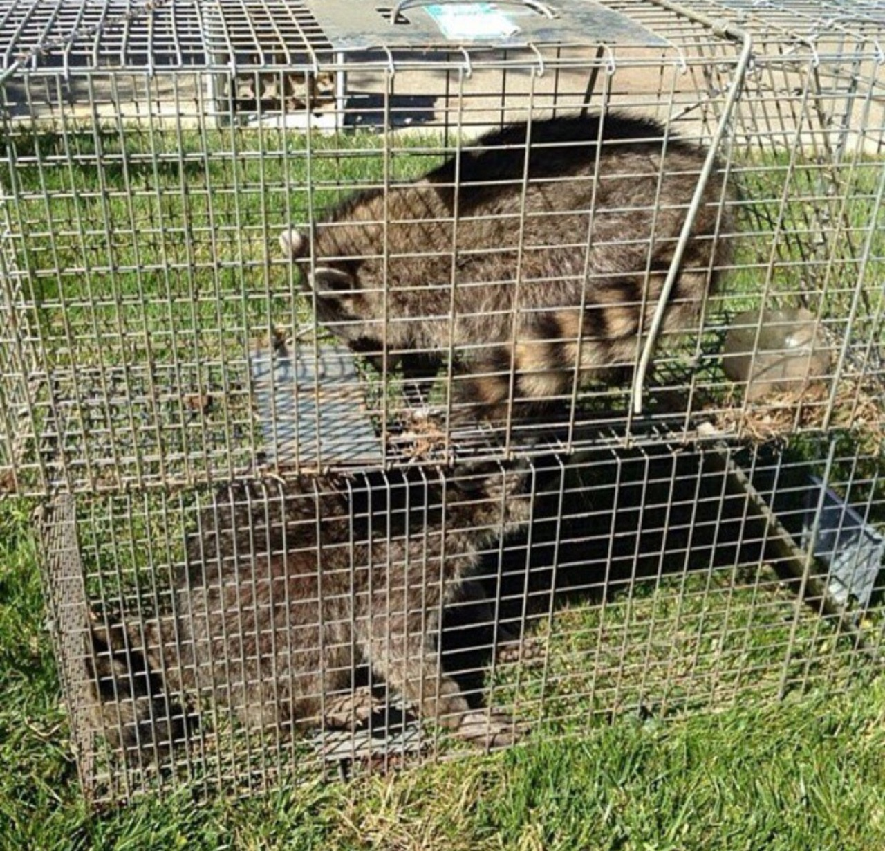 skunk removal control raccoon
