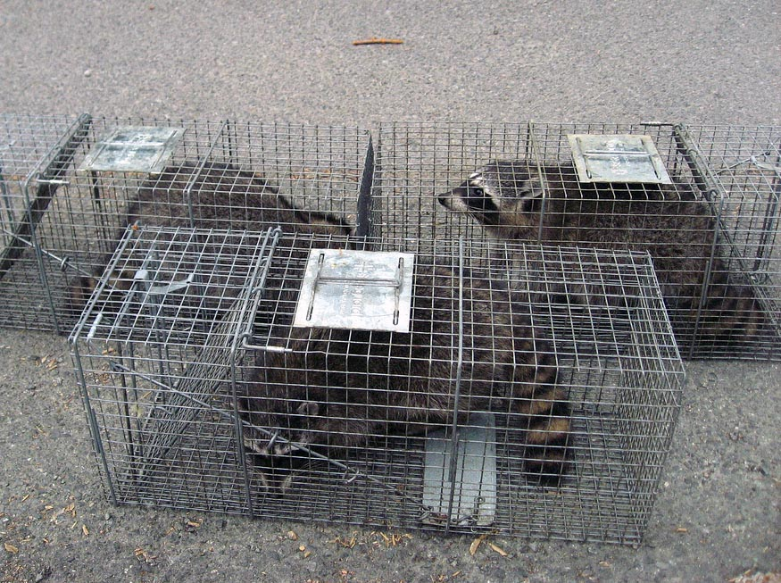 raccoon wildlife control animal prevention