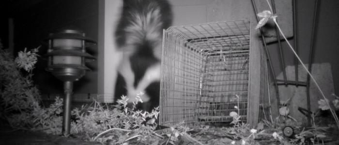 skunk in crawlspace