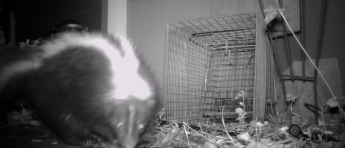 skunk crawlspace