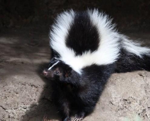 confident skunk