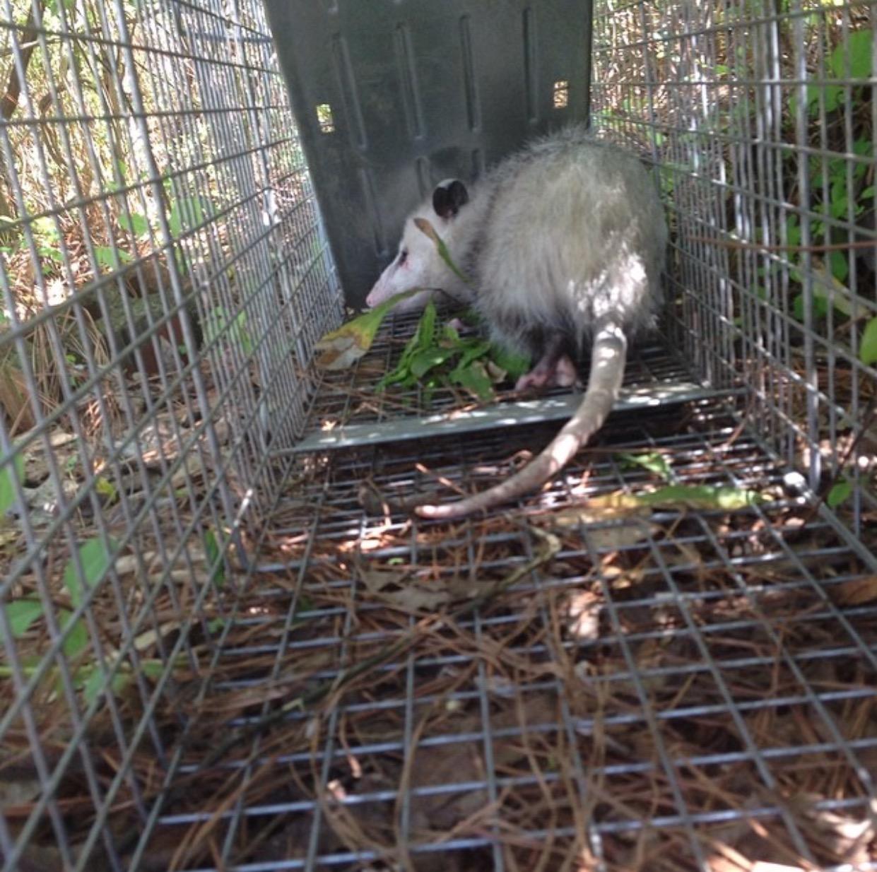 opossum control caged trapper