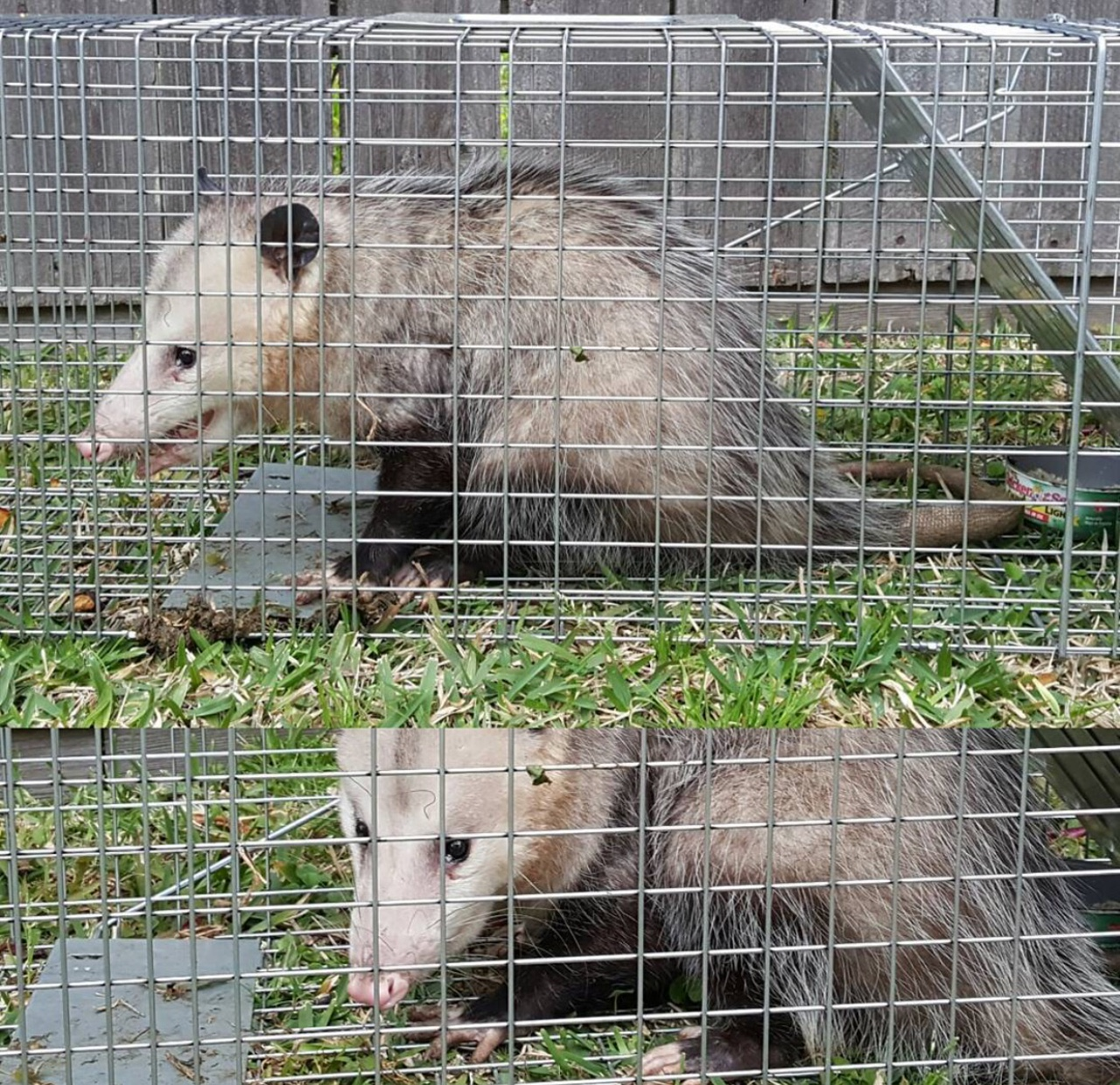 wildlife control removal trapping
