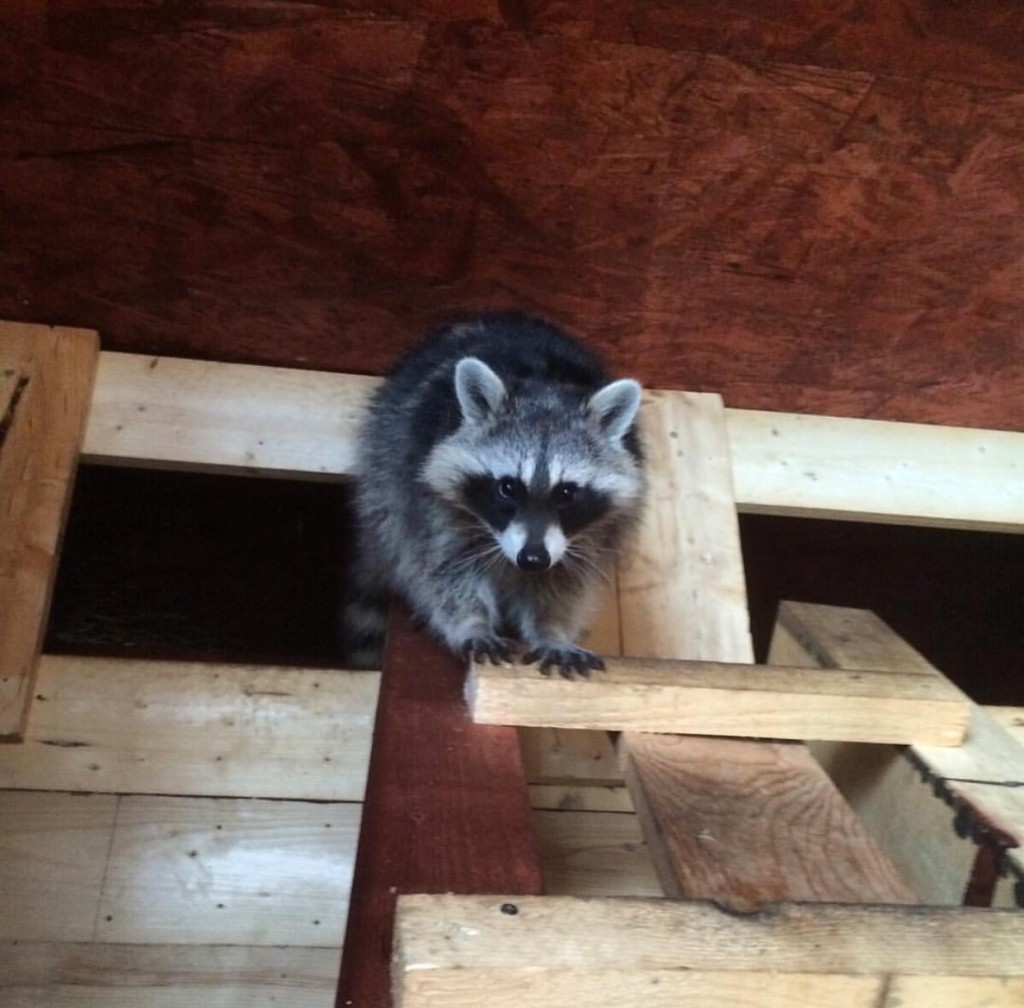 How To Get Rid Of Raccoons In The Attic