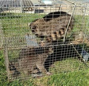 napa skunk removal control raccoon