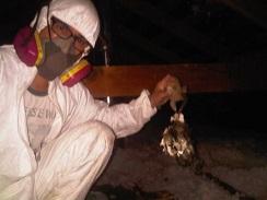 dead rodents wildlife attic