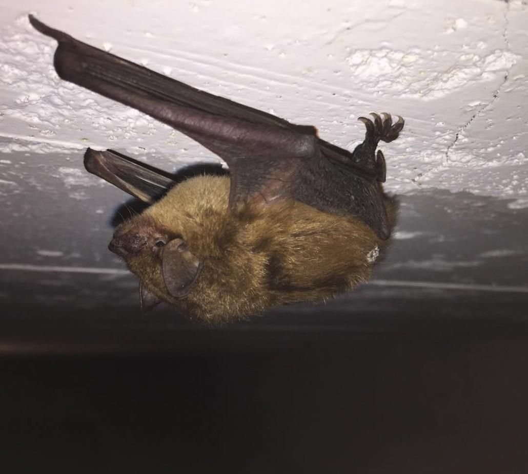 bat prevention oakland