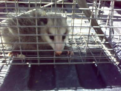 opossum control concord