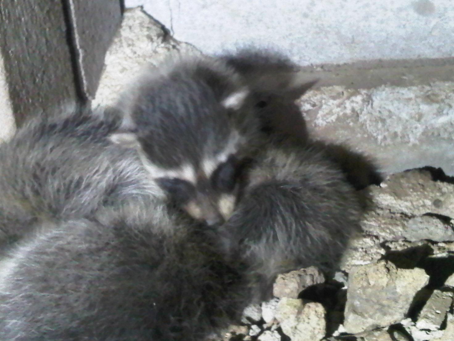 litter of raccoon babies