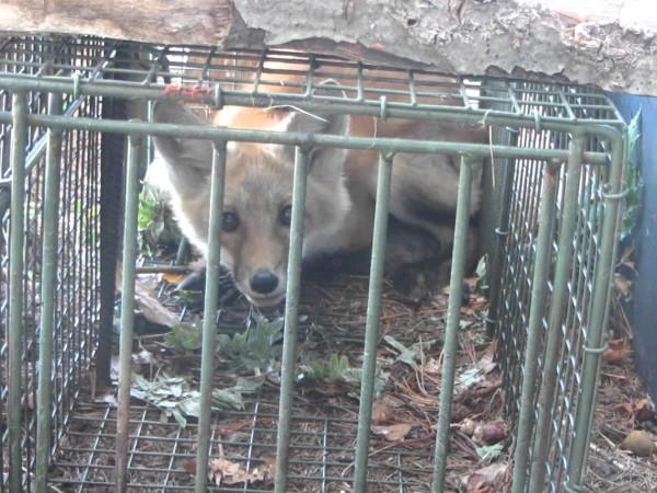 fox professional removal