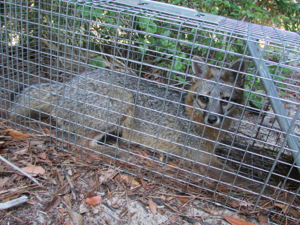 fox trapper wildlife animal