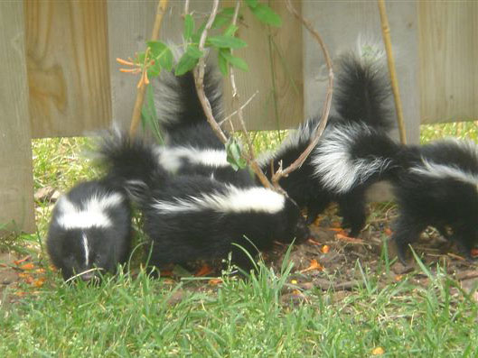 litter of skunks