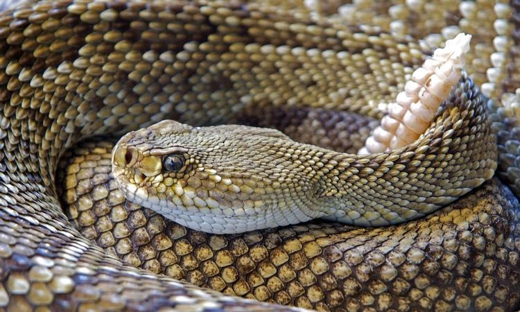 rattlesnake removal